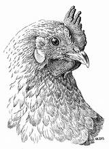 Chicken Pen Drawings Coloring Drawing Ink Pencil Rooster Adults Inkt Roosters Colouring Chickens Pages Oost Indische Dieren Kleuren Voor Volwassenen sketch template