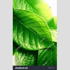 Bright Green Leaves Stock Photo 22506259 Shutterstock