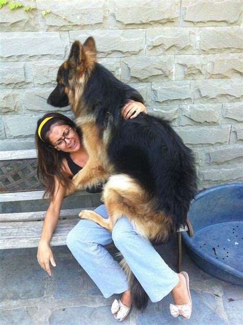 22 Dogs Who Are Not Aware of How BIG They Are