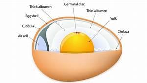 Do Eggs Go Bad Egg Diagram