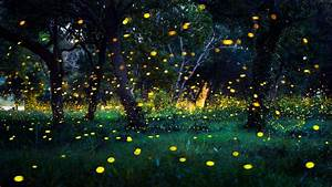 Fireflies  How And Why They Light Up