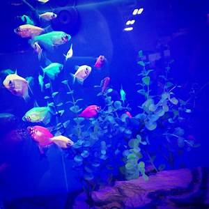 17 Best images about Glofish on Pinterest | Glow, Live ...