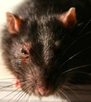 rat en anglais un rat cohabite avec le premier ministre britannique