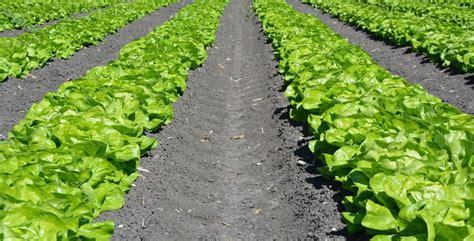 coltivare lattuga in vaso come coltivare la lattuga nell orto la guida completa