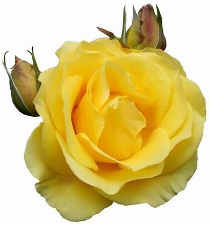 Yellow Rose Clipart Roses Rosa Tube Transparent