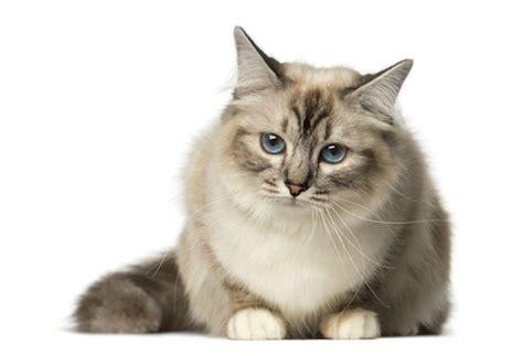 cat breeds  blue eyes petmd