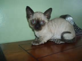 minskin cat minskin pictures information grooming and kittens