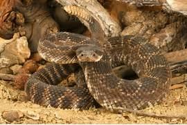 Western Diamondback Rattlesnake Striking Distance Southern pacific      Western Diamondback Rattlesnake Striking