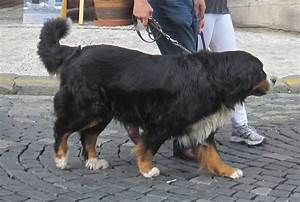 File:Bernese Mountain Dog 1.jpg - Wikimedia Commons