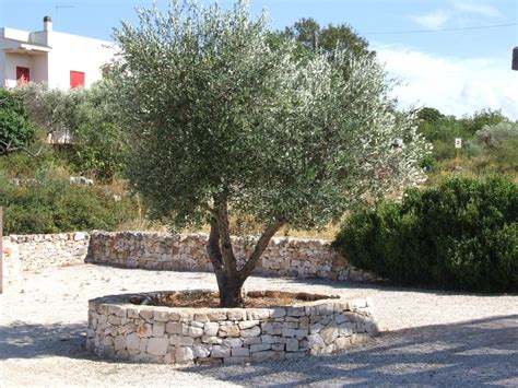 olive tree landscape a beautiful olive tree in puglia italy latest member projects landscape juice network