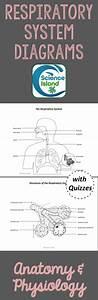 Respiratory System Diagrams  U0026 Quizzes