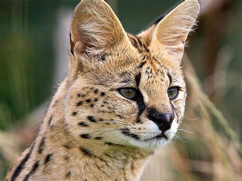 Skaistas leopardu bildes - Spoki - bildes 5