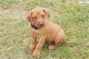 rhodesian ridgeback puppies funny puppy dog pictures