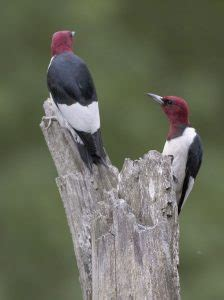 red headed woodpecker facts habitat diet life cycle