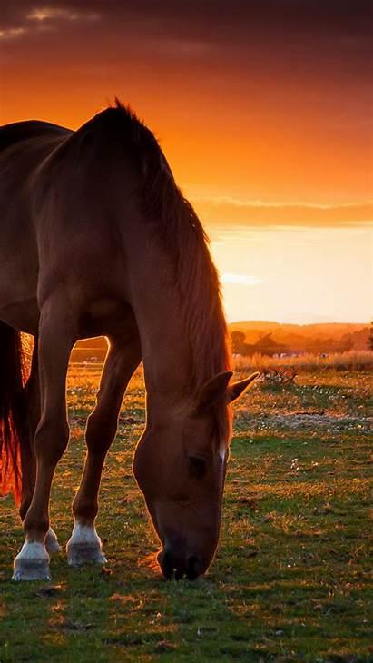 Horse Sunset Pasture Horses Field Iphone Background