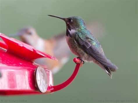 hummingbird blog hummingbird pictures