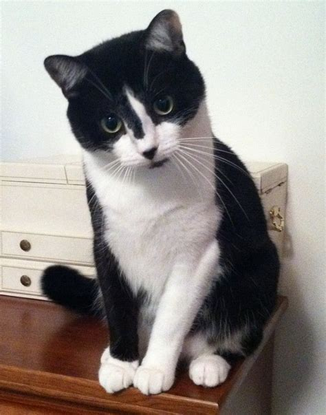 tuxedo cat cats kittens pretty handsome markings personality cool distinctive face tuxie breeds crazy catsincare facts unique baby very cute