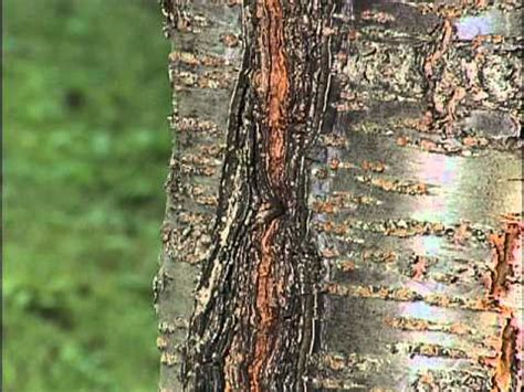 flowering cherry tree problems home gardener tree problems flowering cherry youtube