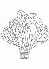 Spinach Coloring Vegetables Vegetable Clipart Plant Pages Squash Printable Clipground Drawings Letters sketch template