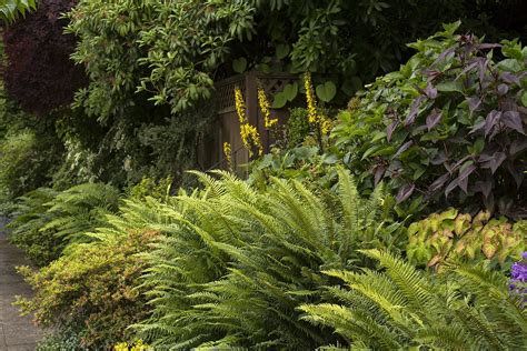 native ferns fronds  benefits sfchroniclecom