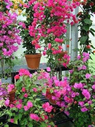 buganvillas cultivo  cuidados generales plantas flor