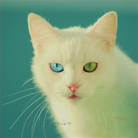 eyes different cats eye colors colored rare cute cat kittens animals special photoshopped pretty funguerilla very cutest animal kitties condition