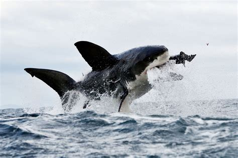 Great White Shark Hd Incredible Images Of The 39 Jumping 39 Great White Sharks Of False Bay South Africa Zimbio