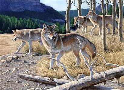 Wolves Pack Wallpapers Wolf Hungry Forest Mountain