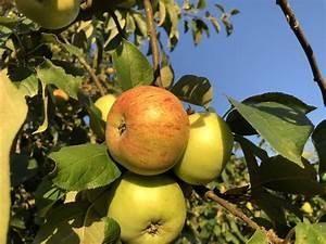 Apfelbaum Hochstamm Kaufen : apfel gravensteiner malus frisch aus der baumschule kaufen ~ Orissabook.com Haus und Dekorationen