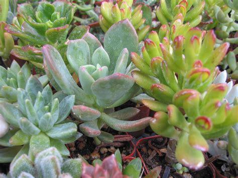 popular succulent plants north texas heat wave drought resistant plants captain ron s lawns landscaping inc