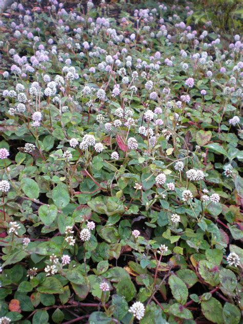 flower ground cover flowering ground covers miss smarty plants