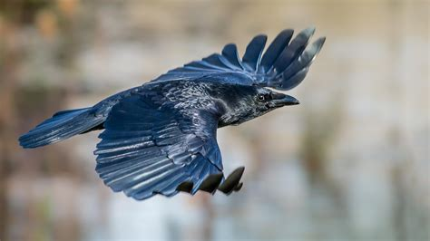crow flying  wallpaper hd wallpapers
