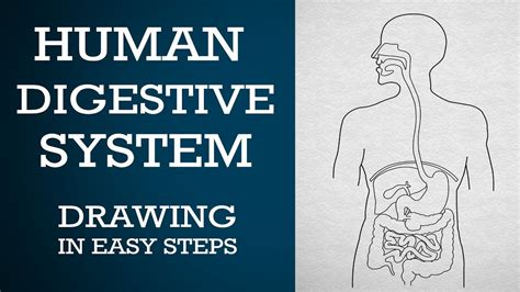 How To Draw Human Digestive System In Easy Steps Process Chart About Transformation Of Energy Bubble Worksheet Flow Loop For Ielts Task 1 With Timeline Manufacturing Line Drawings Animals