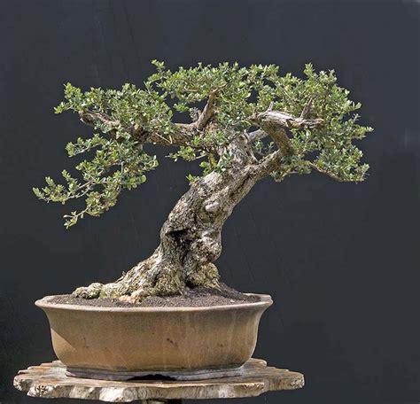 terreau pour olivier en pot olivier en pot pour la terrasse ou le balcon conseils et photos
