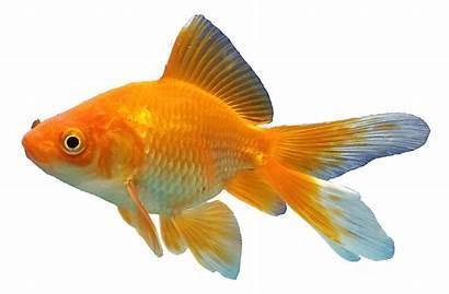 Goldfish Background Mart