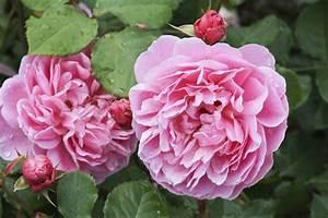 Rosen Im Topf Pflege : rosen im k bel so pflanzen sie richtig gartenpflanzen ~ Lizthompson.info Haus und Dekorationen