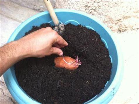 faire pousser patate douce