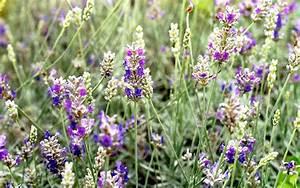 Lavendel Sorten übersicht : lavendel 39 richard grey 39 pflanze lavandula x lanata lavendel labkraut lungenkraut ~ Eleganceandgraceweddings.com Haus und Dekorationen