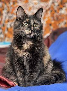 Tortoiseshell Cat  Over 30 Fascinating Facts About Tortie Cats