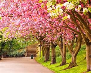 Park, Blooming, Trees, Cherries, Beautiful, Spring, Wallpapers