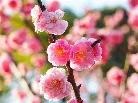 kumpulan gambar bunga sakura pilihan  cantik