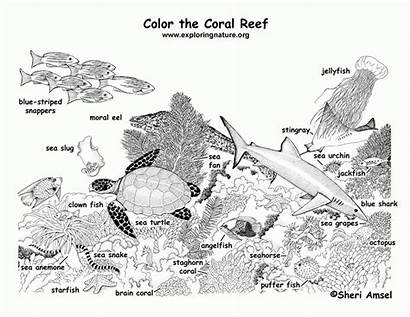 Coloring Reef Coral Labeled Animals Barrier Corals