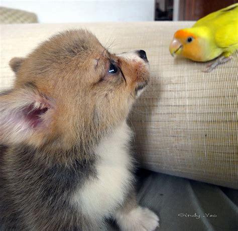 Corgi Puppy Flickr P O Sharing
