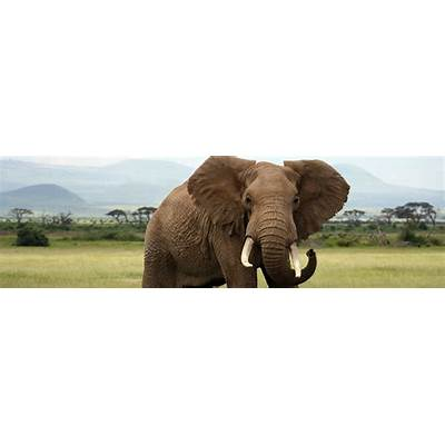 Species Profile: African Elephant (Loxodonta africana