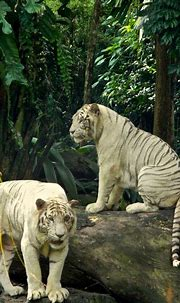 White Tigers Photo by Leigh Anne Tiffany -- National ...