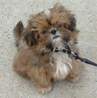 Best Shih Tzu Ideas And Images On Bing Find What Youll Love
