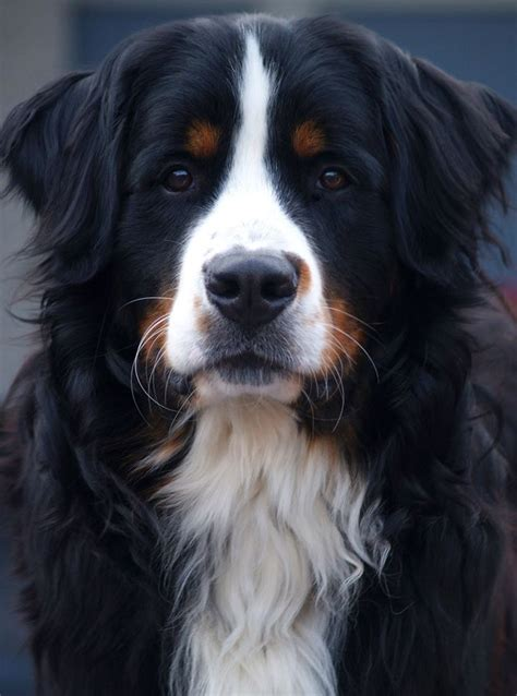 418 best images about for the love of berners bernese mountain dog on pinterest poodles