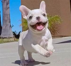Happy Teacup French Bulldog Puppies! ~ Picture of Puppies