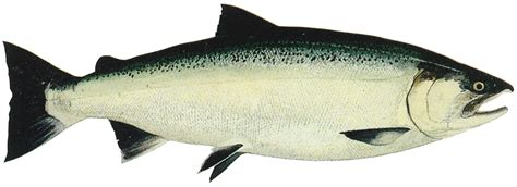 Worms In Salmon? Salmon Parasites