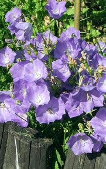 Garten Im Herbst Oder Frühjahr Umgraben by Karpaten Glockenblume Stauden Im Fr 252 Hjahr Oder Herbst